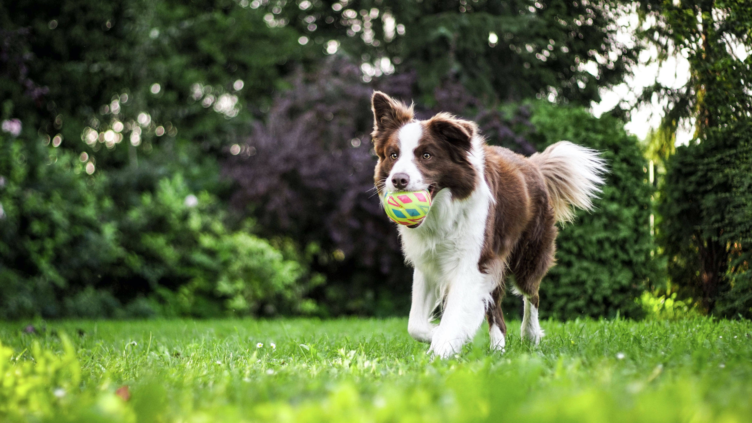 Dog running with ball in grassy field